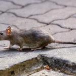 Hantavirus enfermedad que transmiten las ratas - Noticiero de Venezuela