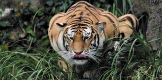 Tigre con Coronavirus - Noticiero de Venezuela