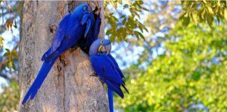 Guacamayo Azul - noticiero de venezuela