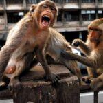 Monos roban muestras de Covid-19 - Noticiero de Venezuela