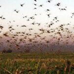 Plaga de langostas en Argentina - Noticiero de Venezuela