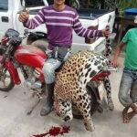 Sujeto asesinó a un jaguar en Barinas - Noticiero de Venezuela