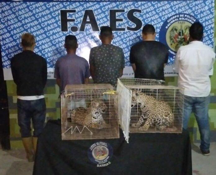Detenidos por caza de jaguar - NDV