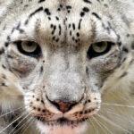 Leopardo de Arabia - NDV