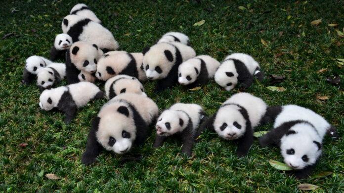 Protección de osos panda - NDV