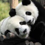 Video de apareamiento de pandas - Noticiero de Venezuela