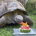 tortuga galápagos cumplió 54 años