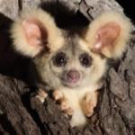 nuevas especies de marsupiales - NDV