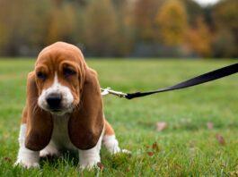 Razas de perros con orejas