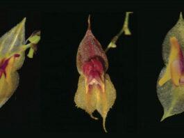 especies de orquídeas en Ecuador