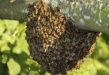 Ataque de abejas en Carabobo