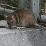 enfermedad trasmitida por ratas
