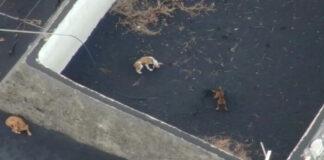 Perros atrapados por lava