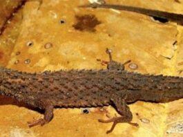nuevo género y especie de lagarto